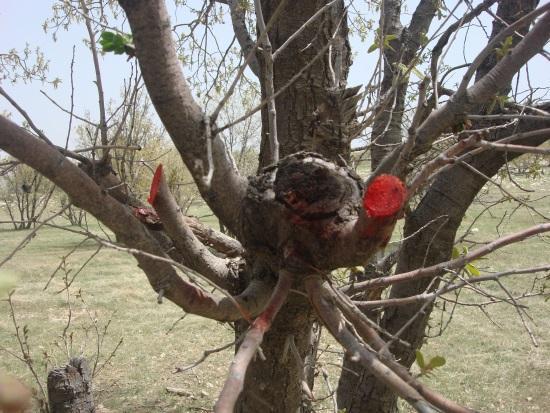 مبارزه با گیاه نیمه انگلی  دارواش در جنگلهای شهرستان کوهدشت-۲