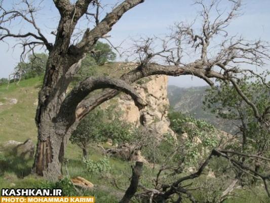 درختان بلوط ایستاده می میرند-۲