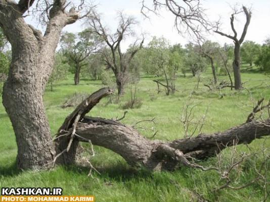 درختان بلوط ایستاده می میرند-۳