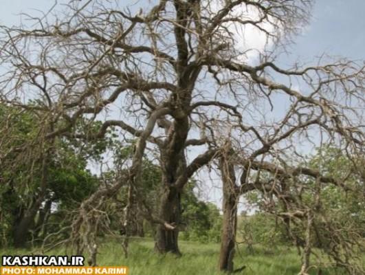 درختان بلوط ایستاده می میرند-۸